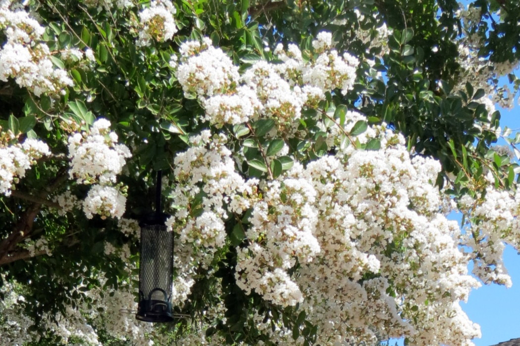 Crape Myrtle at Carol's entry
