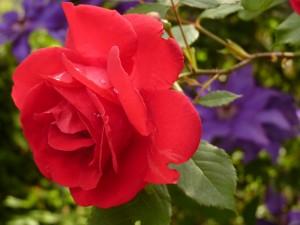 rose-7634-300x225