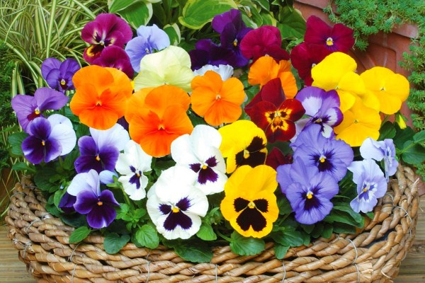 Winter-Flowering-Pansies