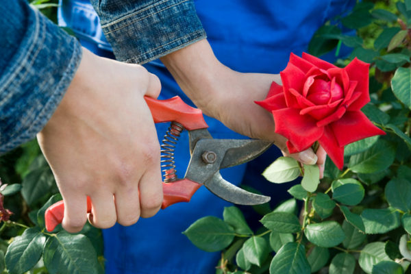 Close-up of a gardener cutting a red rose